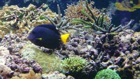 Multi-colored tropical fishes among corals. Multi-colored tropical small fishes among corals stock footage