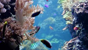 Multi-colored tropical small fishes. Among corals stock video footage