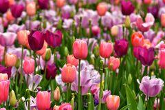 Multi Colored Tulip royalty free stock image