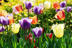 The multi-colored tulips Royalty Free Stock Photo