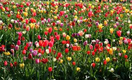 Multi Colored Tulips Stock Image