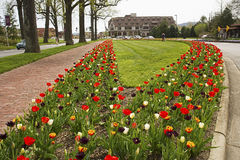 Multi-colored tulips in bloom. Royalty Free Stock Images