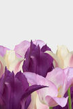Multi-colored tulips border on a white background. Royalty Free Stock Photo