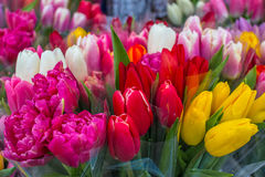 Multi-colored tulips. Royalty Free Stock Photography