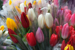Multi-colored tulips Stock Photo