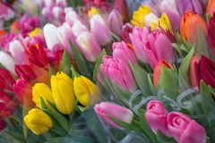 Multi-colored tulips Royalty Free Stock Photos