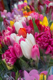 Multi-colored tulips Stock Image