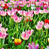 Multi-colored tulips in a park Stock Photography