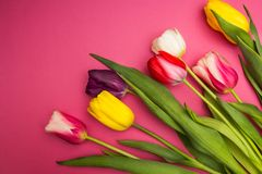 Multi-colored tulips on a pink background stock photos