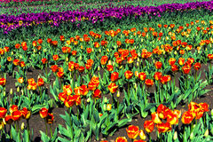 Multi Colored Tulips Royalty Free Stock Photo