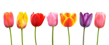 Multi-colored tulips in a row royalty free stock photography