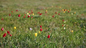 Multi-colored tulips. Swaying in the wind stock video