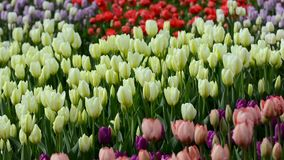 Multi-colored tulips swaying in the wind stock footage
