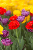 Multi-colored tulips - vertical Royalty Free Stock Photography