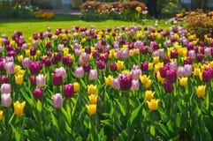 Multi-colored tulpenbloesem op een bed royalty-vrije stock foto