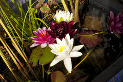 Multi-colored water lilies Royalty Free Stock Photography