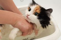 Multi-coloredl frightened cat does not want to swim in the bathroom. Frightened and miserable cat. Human hand royalty free stock photos