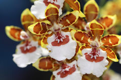 Multi colorful orchid flowers. The orchid belongs to one of the largest families of plants, and there are some 31,000 species Royalty Free Stock Photo