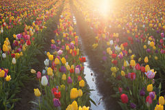 Multi Colors Tulips Glowing in the Sun Stock Photo
