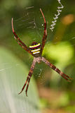 Multi-coloured Argiope Spider, beauty insect on web Royalty Free Stock Image