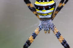 Multi-coloured Argiope Spider Stock Photography