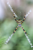 Multi-coloured Argiope Spider Stock Photos