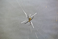 Multi Coloured Argiope Spider On the Web Royalty Free Stock Photos