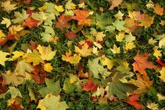 Multi-coloured autumn leaves l Royalty Free Stock Image
