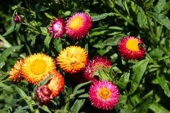 Multi-coloured bloemen van een madeliefje Stock Fotografie