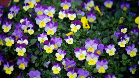 Multi-coloured bright pansies Stock Image