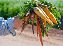 Multi coloured carrots Royalty Free Stock Photos