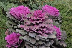 Multi-coloured decorative cabbage. In the autumn garden royalty free stock photo