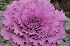 Multi-coloured decorative cabbage. In the autumn garden stock photo
