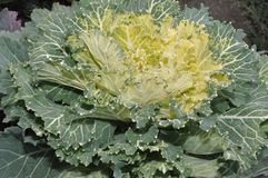Multi-coloured decorative cabbage. In the autumn garden stock photography