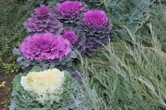 Multi-coloured decorative cabbage. In the autumn garden stock images