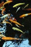 Multi-coloured fish Stock Image