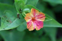Multi coloured Flower Royalty Free Stock Photo