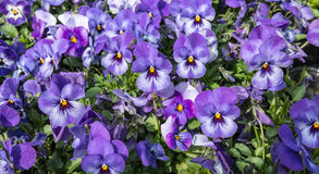 Multi-coloured flowering Viola plants Stock Photography