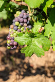 Multi colored grape bunch hanging from vine in winemaking region Stock Photo