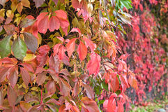 Multi-coloured leaves Royalty Free Stock Image
