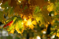 Multi-coloured maple leaves. In beams of the morning sun Royalty Free Stock Photography