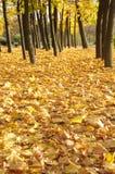 Multi-coloured maple leaves Stock Image
