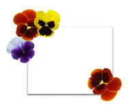 Multi-coloured pansies 1 Royalty Free Stock Images