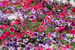 Multi-coloured petunias. Royalty Free Stock Image