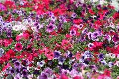 Multi-coloured petunias. royalty free stock image