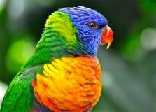 Multi-coloured rainbow parrot portrait Stock Image