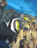 The multi-coloured small fish  in an aquarium. The multi-coloured small fish floats in an aquarium Royalty Free Stock Photography