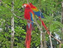 Multi coloured tropical park. Multi coloured tropical parrot in the trees - Copan - Honduras Stock Photography