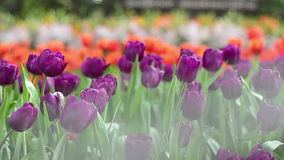 Multi coloured tulips and daffodils on nature background stock video footage