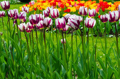 Multi coloured tulips. Royalty Free Stock Photography